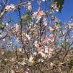 今年初めての桜!!!
